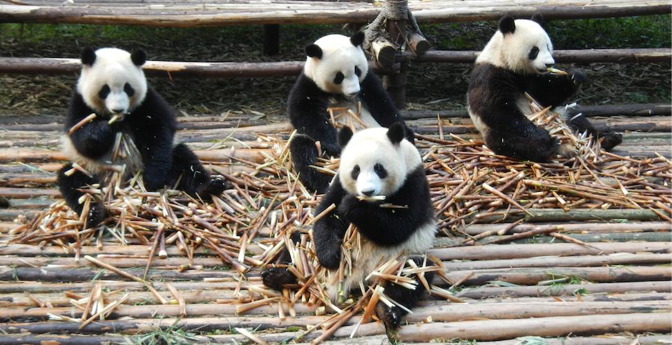 Chengdu panda park