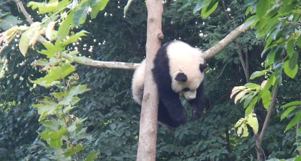 Luie panda in Chengdu