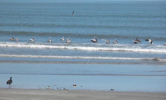 Pelikanen op het strand van Veracruz