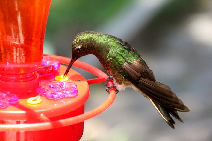 Kolibries in de koffiedriehoek