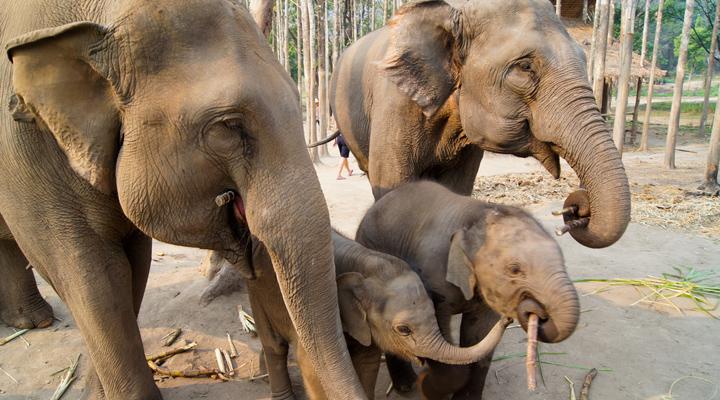 Olifantenopvang in Chiang Mai