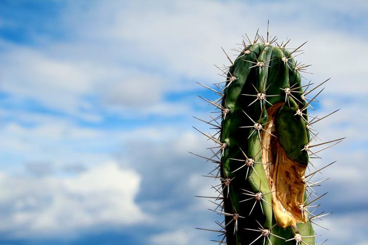 Tatacoa cactus