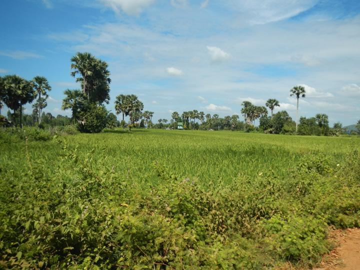 Rijstvelden rondom Kampot